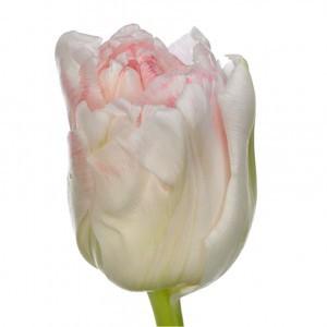 Тюльпан ду касуаль (tulp du casual)