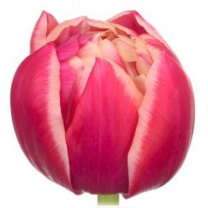 Тюльпан ду колумбус (tulp du columbus)