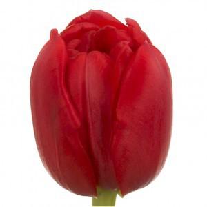 Тюльпан ду ларго (tulp du largo)