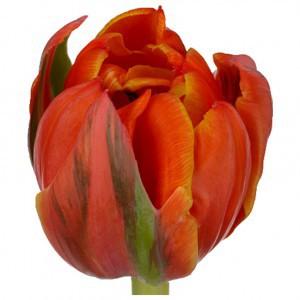 Тюльпан ду квинсдей (tulp du queensday)