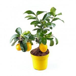 Лимон (Citrus)