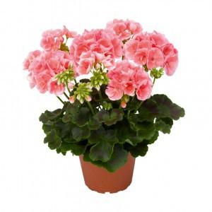 Пеларгония или герань (Pelargonium)