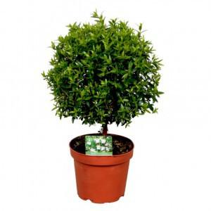 Мирт (Myrtus)